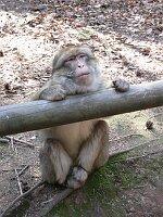 Berberaffen im Affenwald